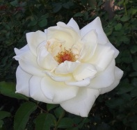 almost perfect rose